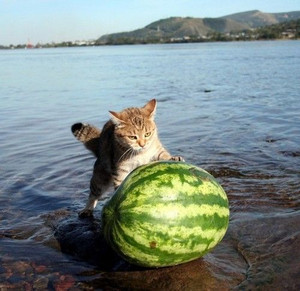 Funnycatswithwatermelon